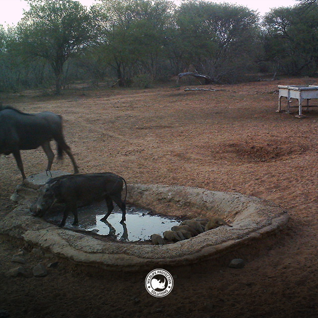 Warthog, Wildebeeste, Mongoose at watering hole