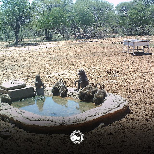 Baboons at watering hole