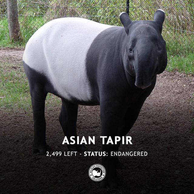 Asian Tapir