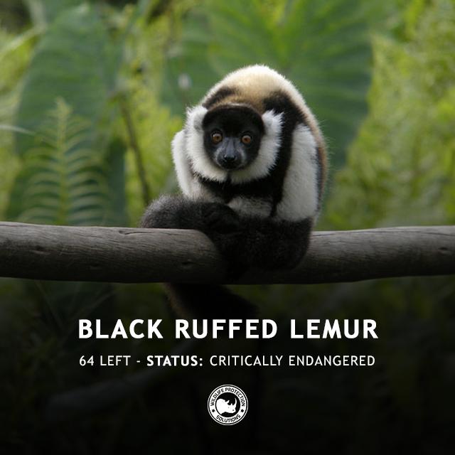 Black Ruffed Lemur