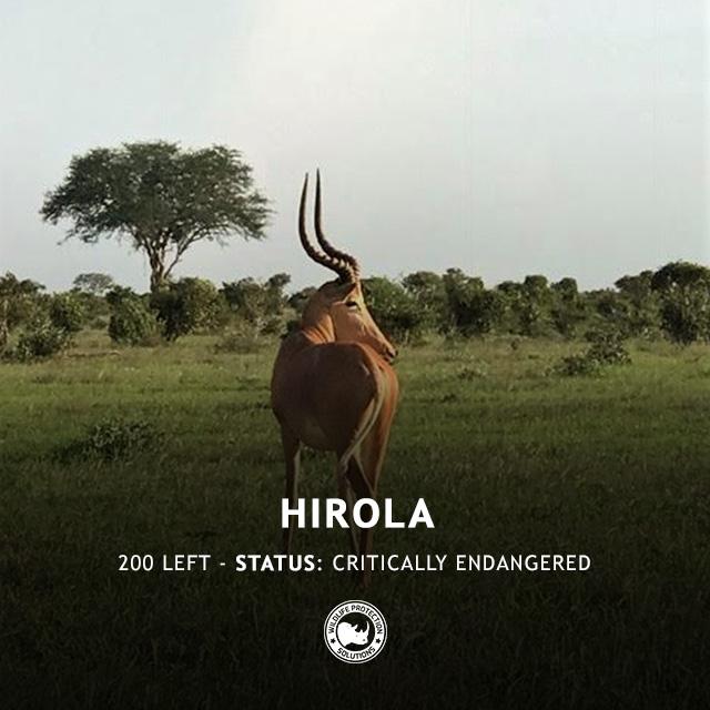 Hirola