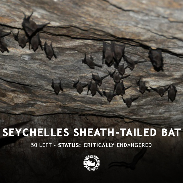Seychelles Sheath-Tailed Bat