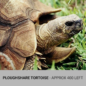 Ploghshare Tortoise