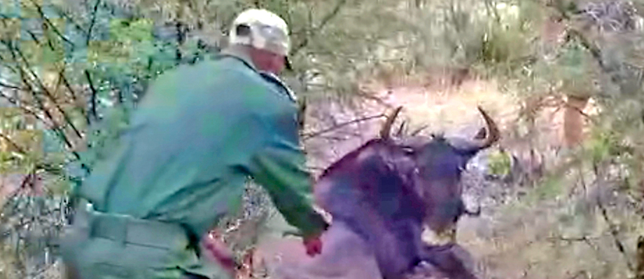 A ranger cautiously approaches a wildebeest to remove a snare from its neck