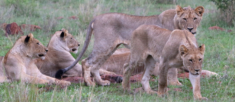Mother lion with growing cubs, Dinokeng Game Reserve, South Africa