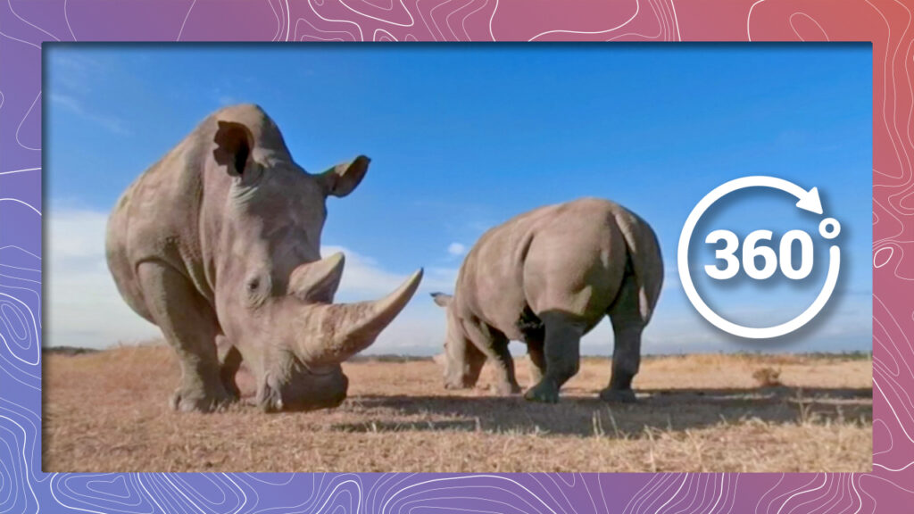 Najin and Fatu, the last two remaining female northern white rhinos in the world.