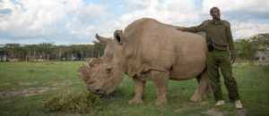 Sudan, the last male northern white rhino, with a caretaker at Ol Pejeta Conservancy