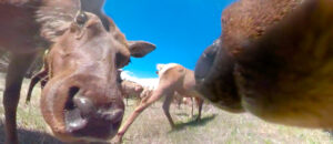 Young Rocky Mountain elk investigate WPS cameras with their noses